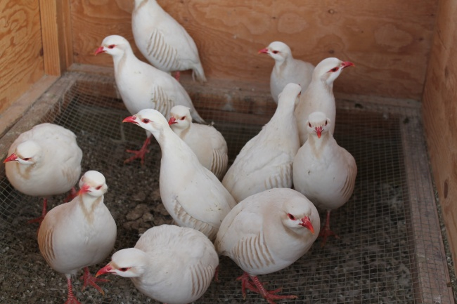 Chukars for sale in pa