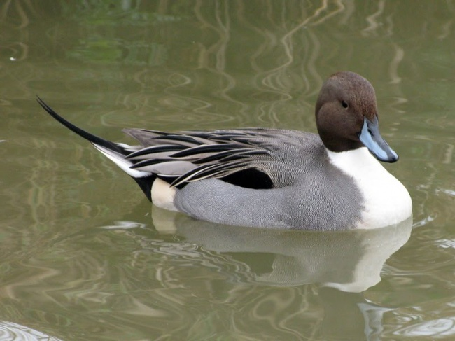 Exotic Birds For Sale >> Pair of North American Pintail duck for sale. - Ducks - Wild : : : Pintail Northern